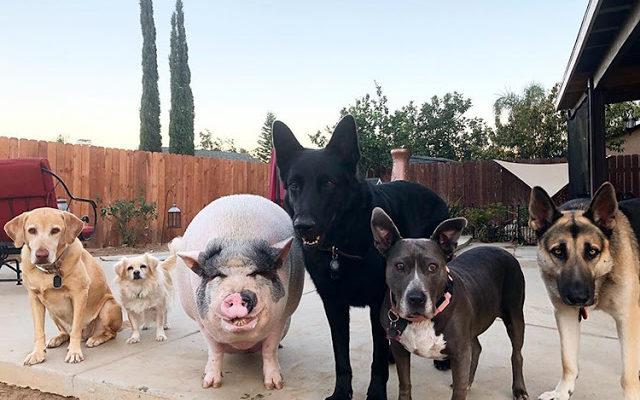 Porquinho foi criado com 5 cães e agora pensa que é um deles