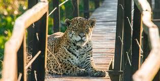 Onça aproveita ausência de turistas e se apropria de passarela antes usada por eles no Pantanal