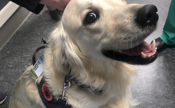 Hospital contrata cachorrinho encantador para desestressar os pacientes e funcionários