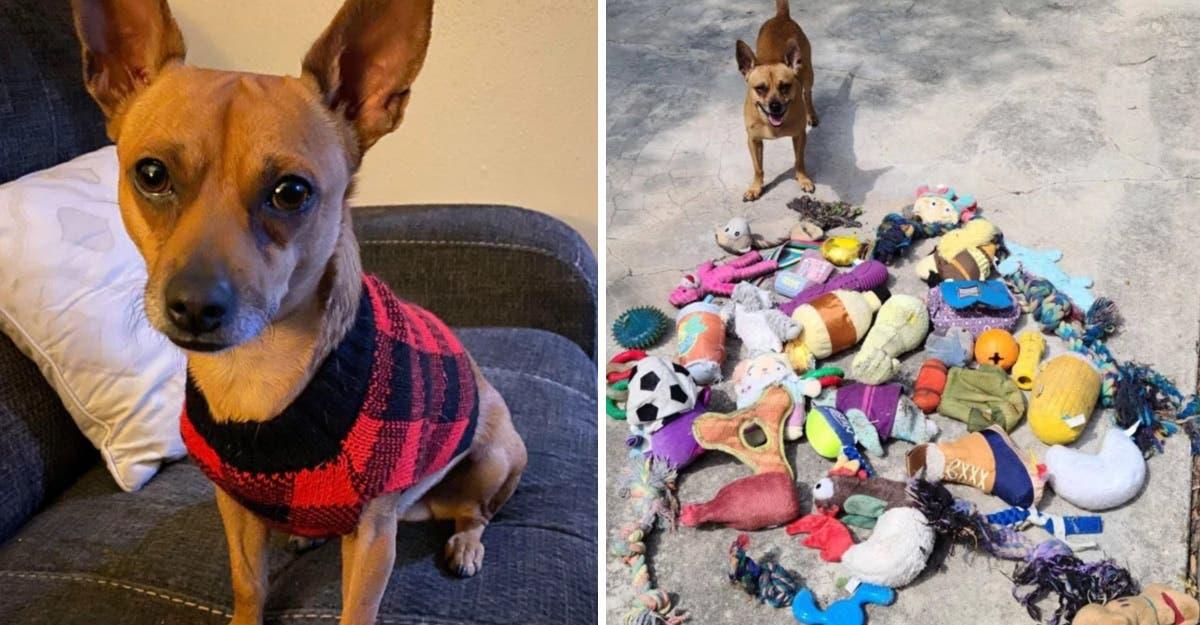 Este adorável chihuahua era secretamente cleptomaníaco e roubou dezenas de brinquedos